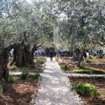 Israel.gebedsbrief.olijfbomen